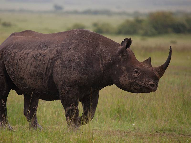 News -Rhino Horn Consumers, Who are they?
